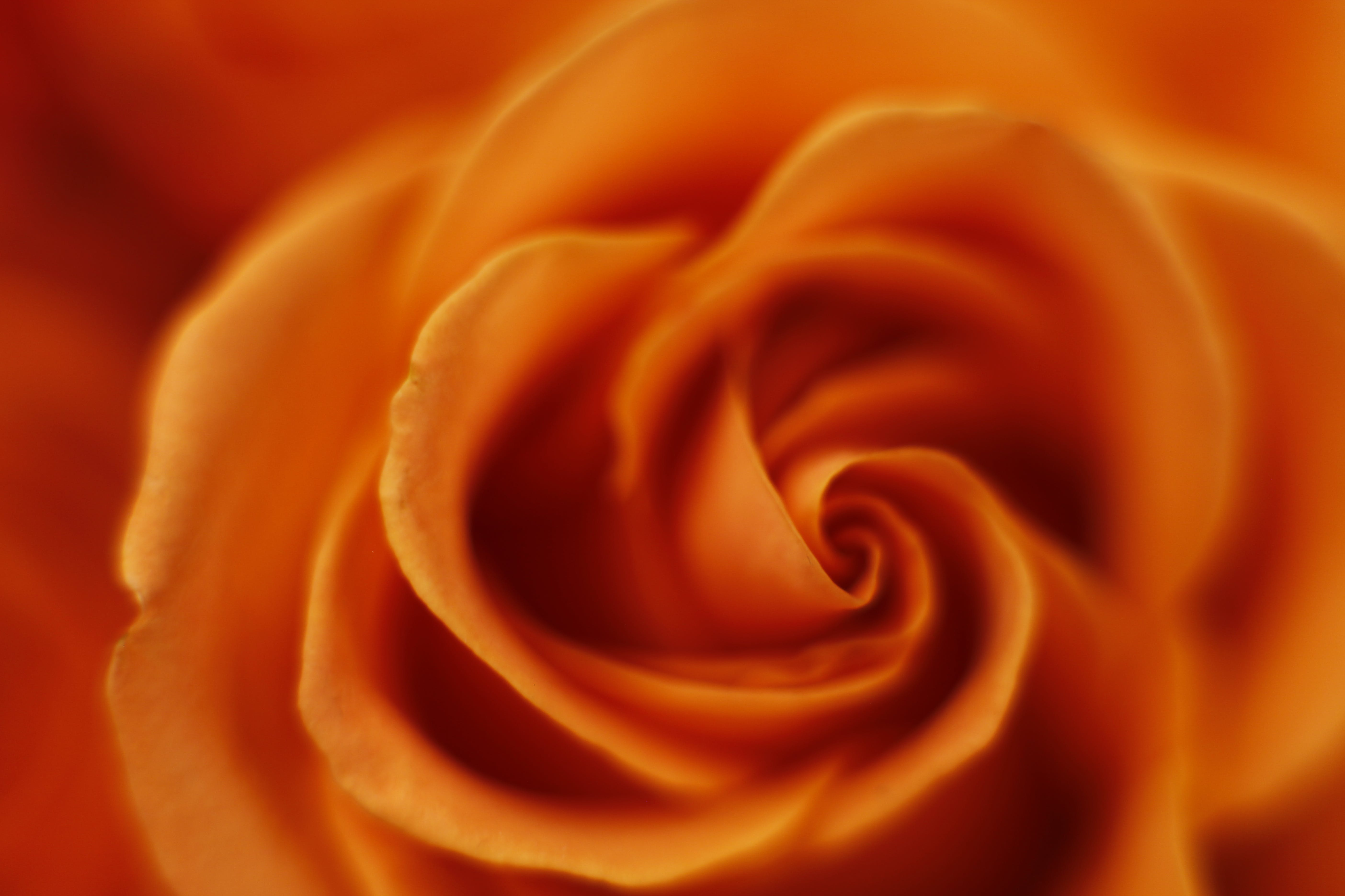 Free stock photo of flower, macro, Orange Rose, rose