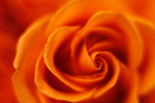 Fotos de stock gratuitas de flor, macro, Rosa, rosa naranja