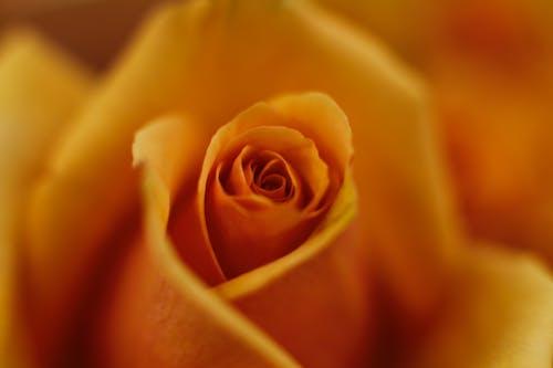 Fotos de stock gratuitas de flor, macro, rosa amarilla