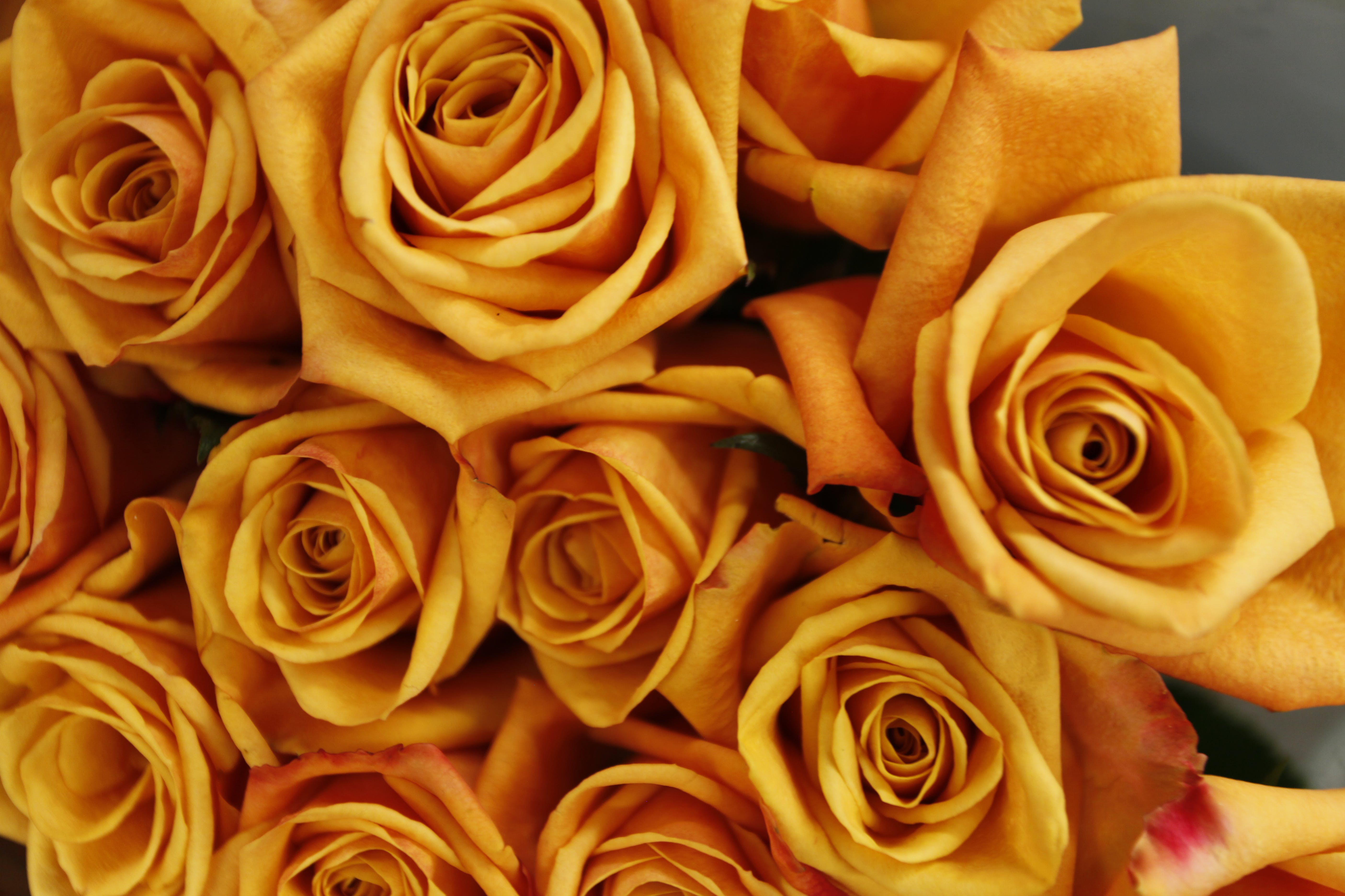 Free stock photo of flowers, macro, roses, yellow roses