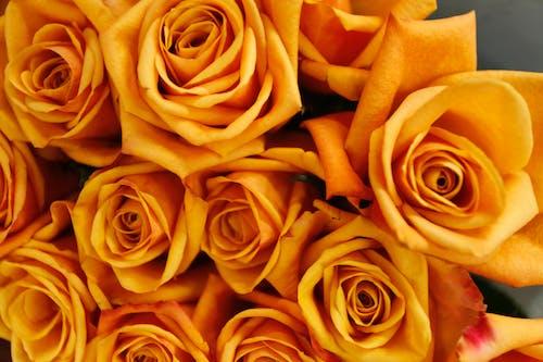 Fotos de stock gratuitas de flores, macro, rosas, rosas amarillas