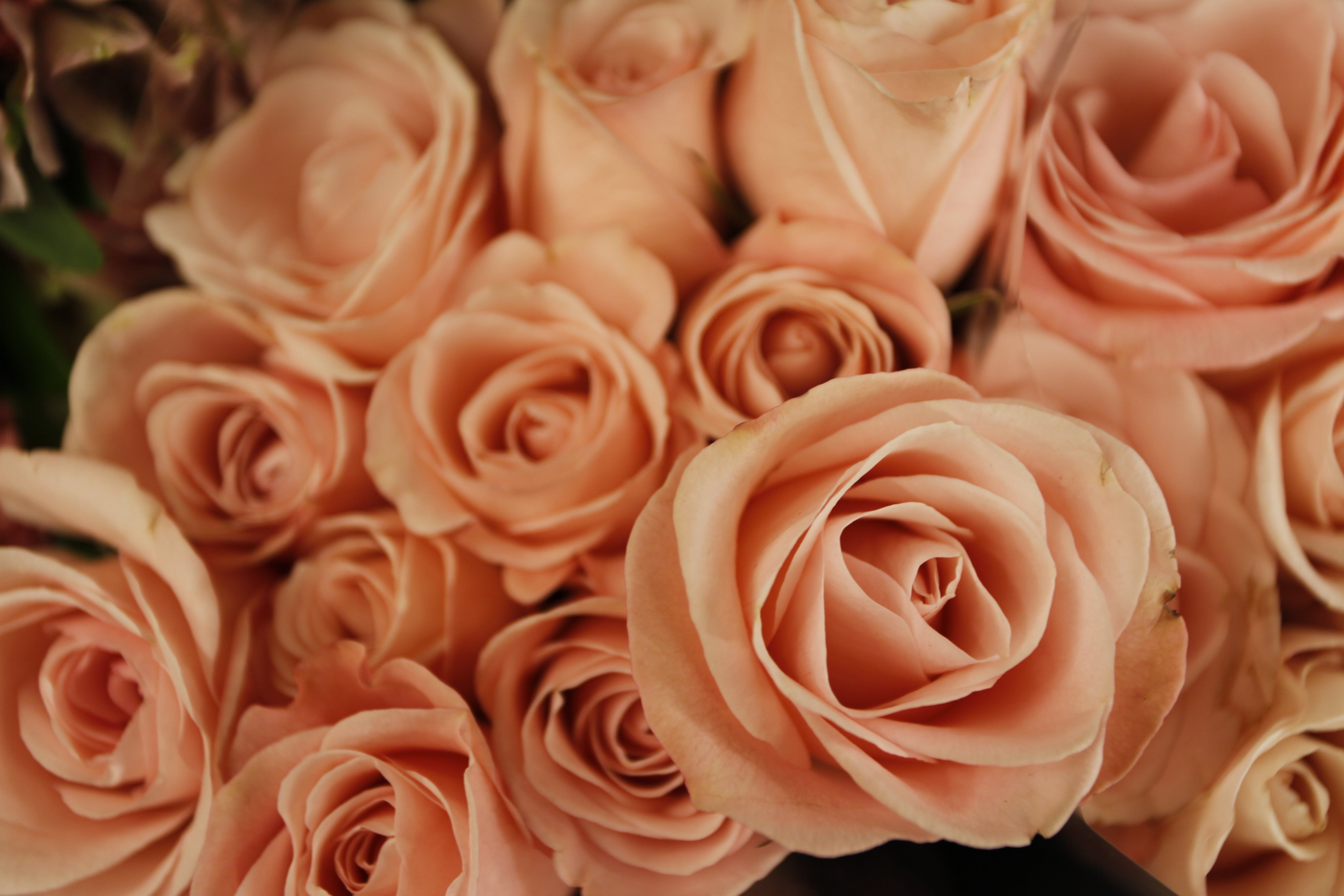 Free stock photo of flowers, macro, roses