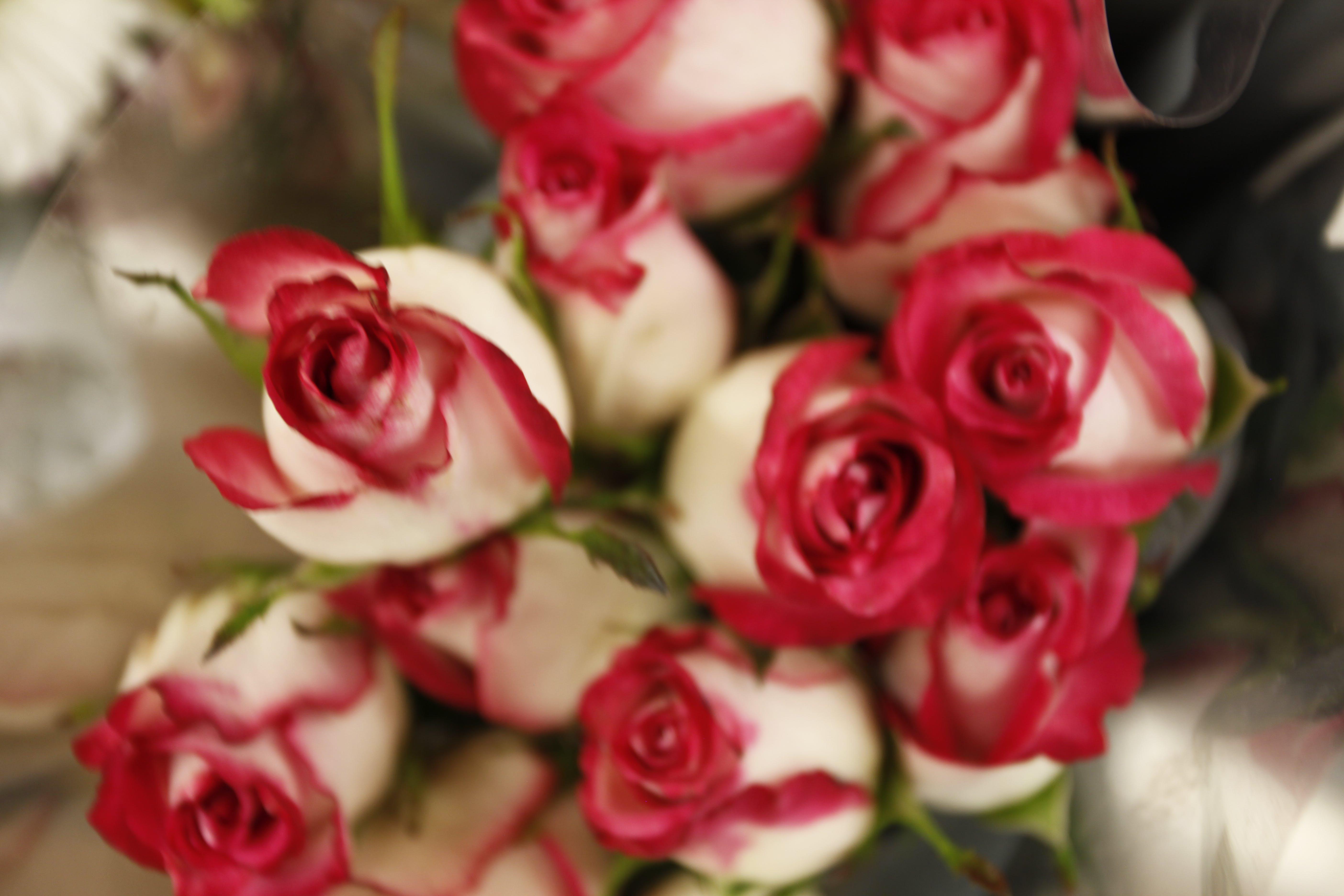 Free stock photo of flowers, roses, bokeh, macro
