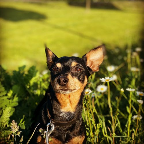 Cute purebred small dog sitting on green meadow