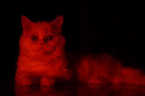 Free stock photo of animal portrait, cat, cat eyes, cat face