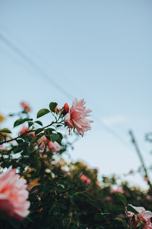 Delicate pink roses blooming in garden