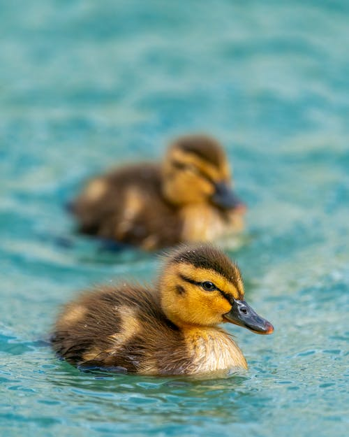 Fluffy ducklings floating in pond water