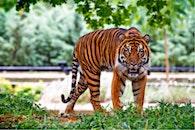 animal, grass, tiger