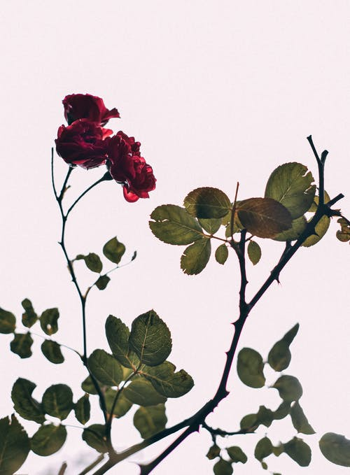 Twig of wild fresh rose with leaves