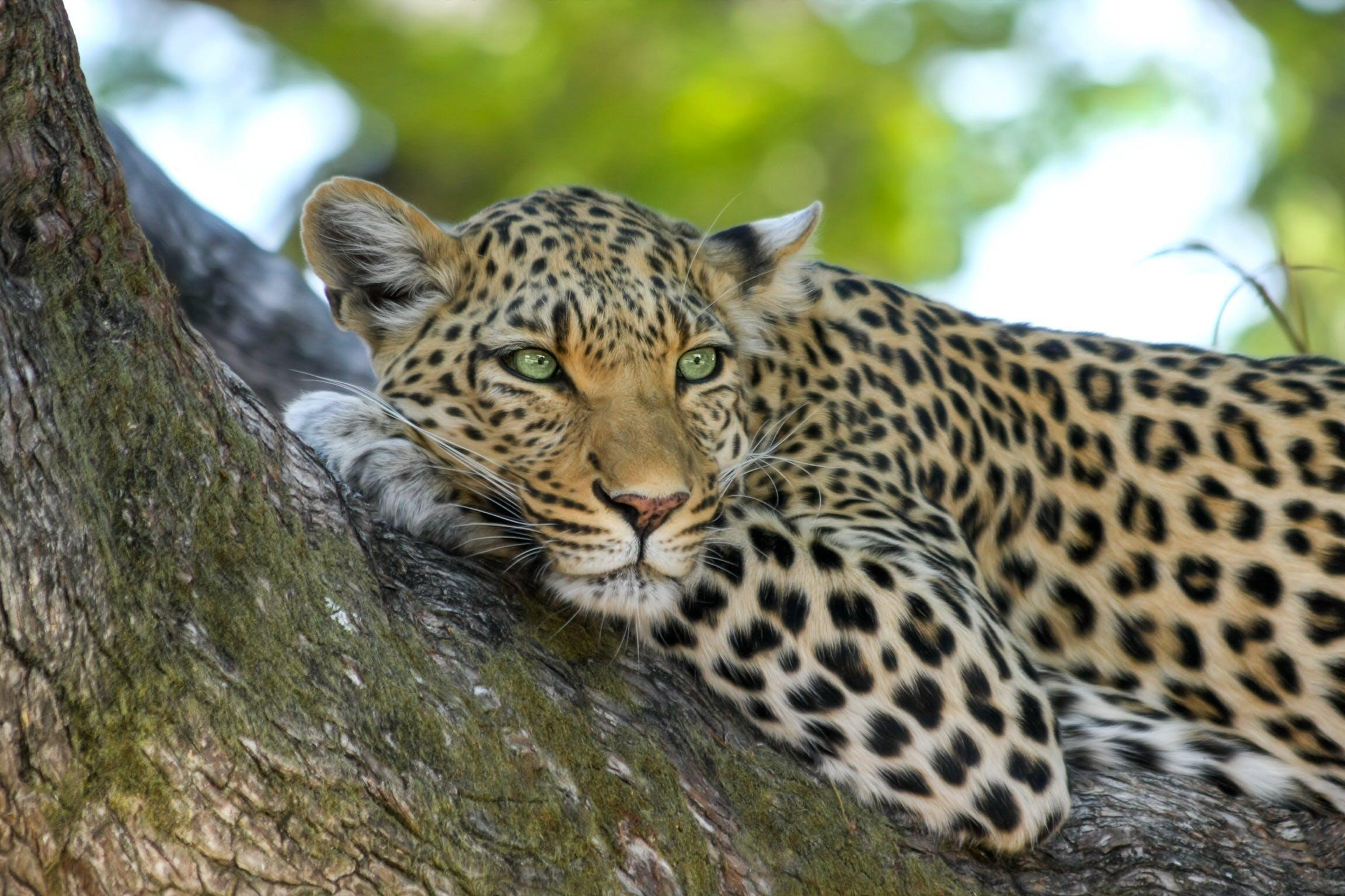 Kostenloses Stock Foto zu afrika, große katze, katze, leopard