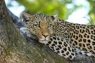 africa, cat, leopard