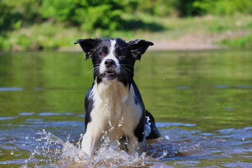 Black and White Border Collie Running on Water