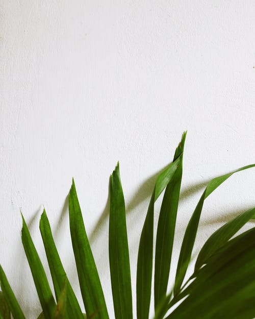 Green pointed plant leaves near white wall