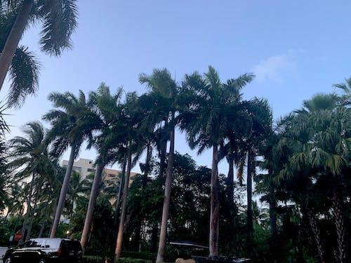 Free stock photo of beautiful sky, blue sky, palms