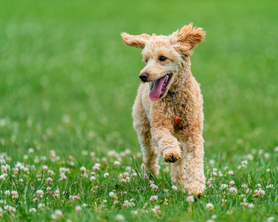 Content Poodle running in green field in summer