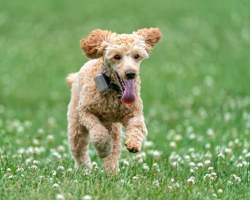 Playful Poodle with collar running with tongue out on bright green lawn with blossoming flowers and looking away