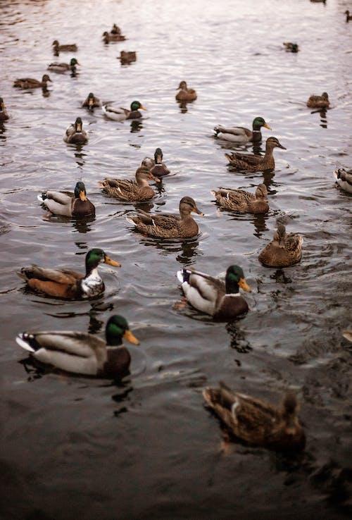 Flock of Mallard Ducks on Water