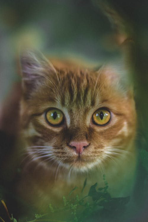 Brown Tabby Cat in Close Up
