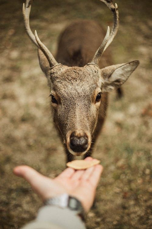 Person Feeding A Brown Deer