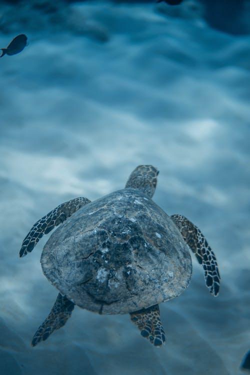 Eretmochelys imbricata turtle swimming in sea water