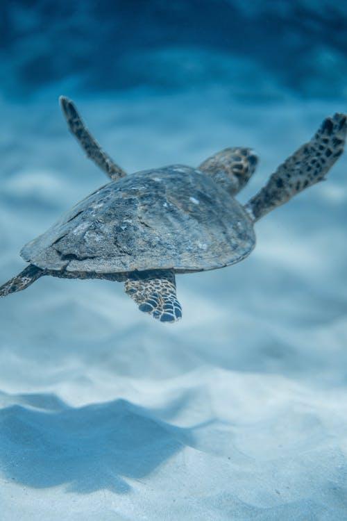 Hawksbill sea turtle swimming undersea in sunlight