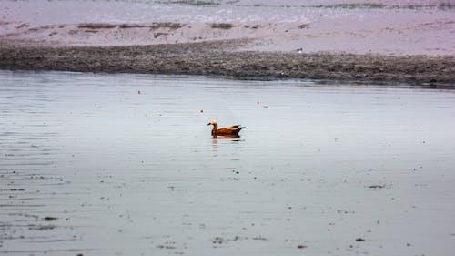 Free stock photo of bird, ganga, india