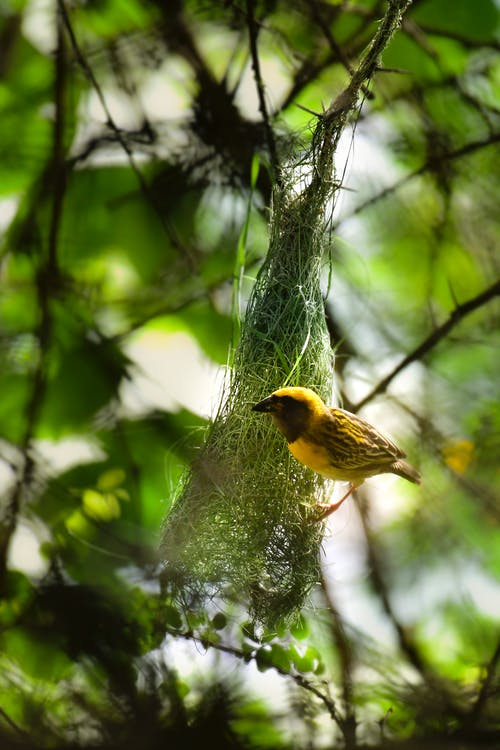 From below of cute small exotic streaked weaver bird making nest on tree in green forest