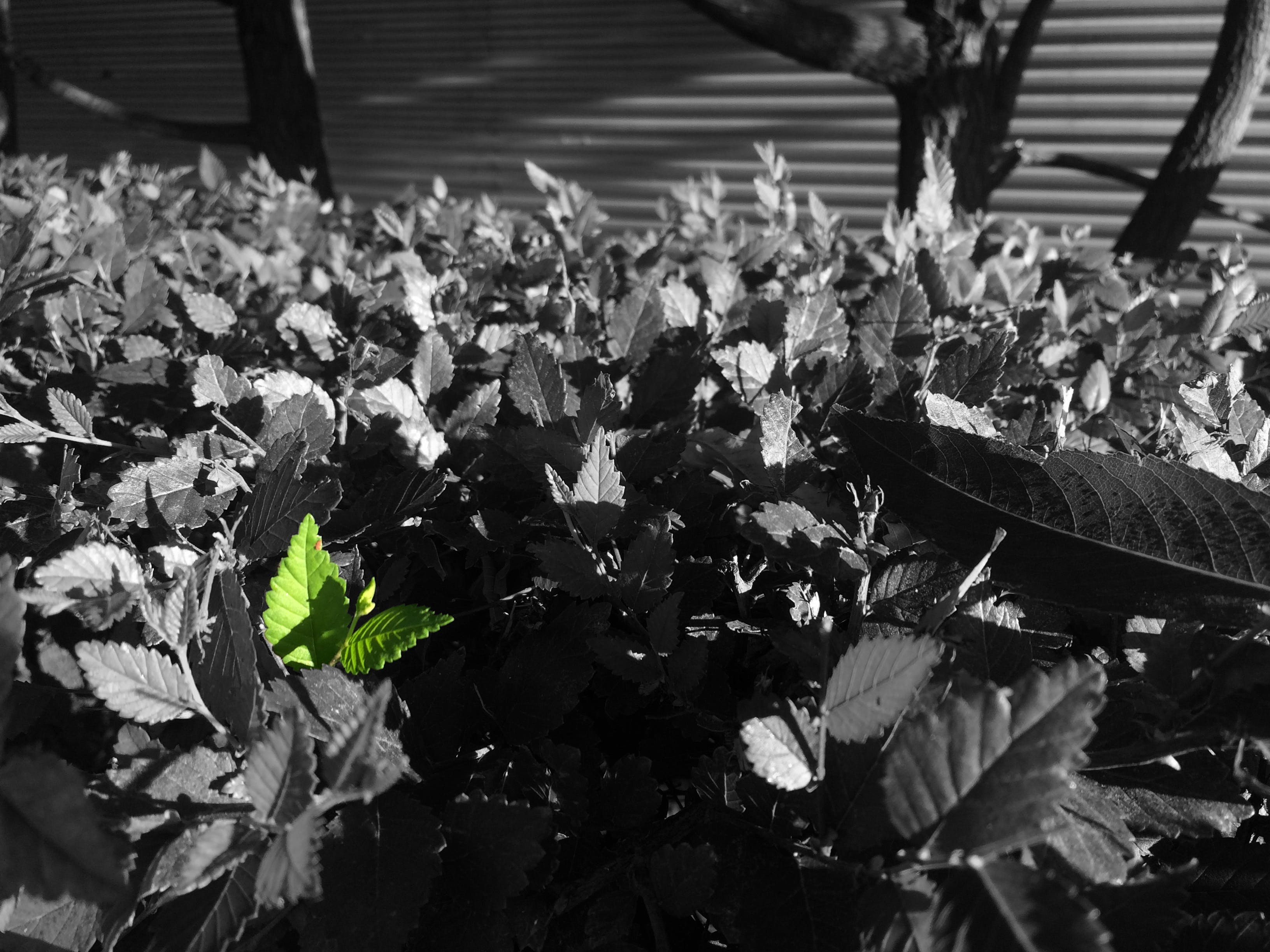 Free stock photo of accent, black and white, green, leaves