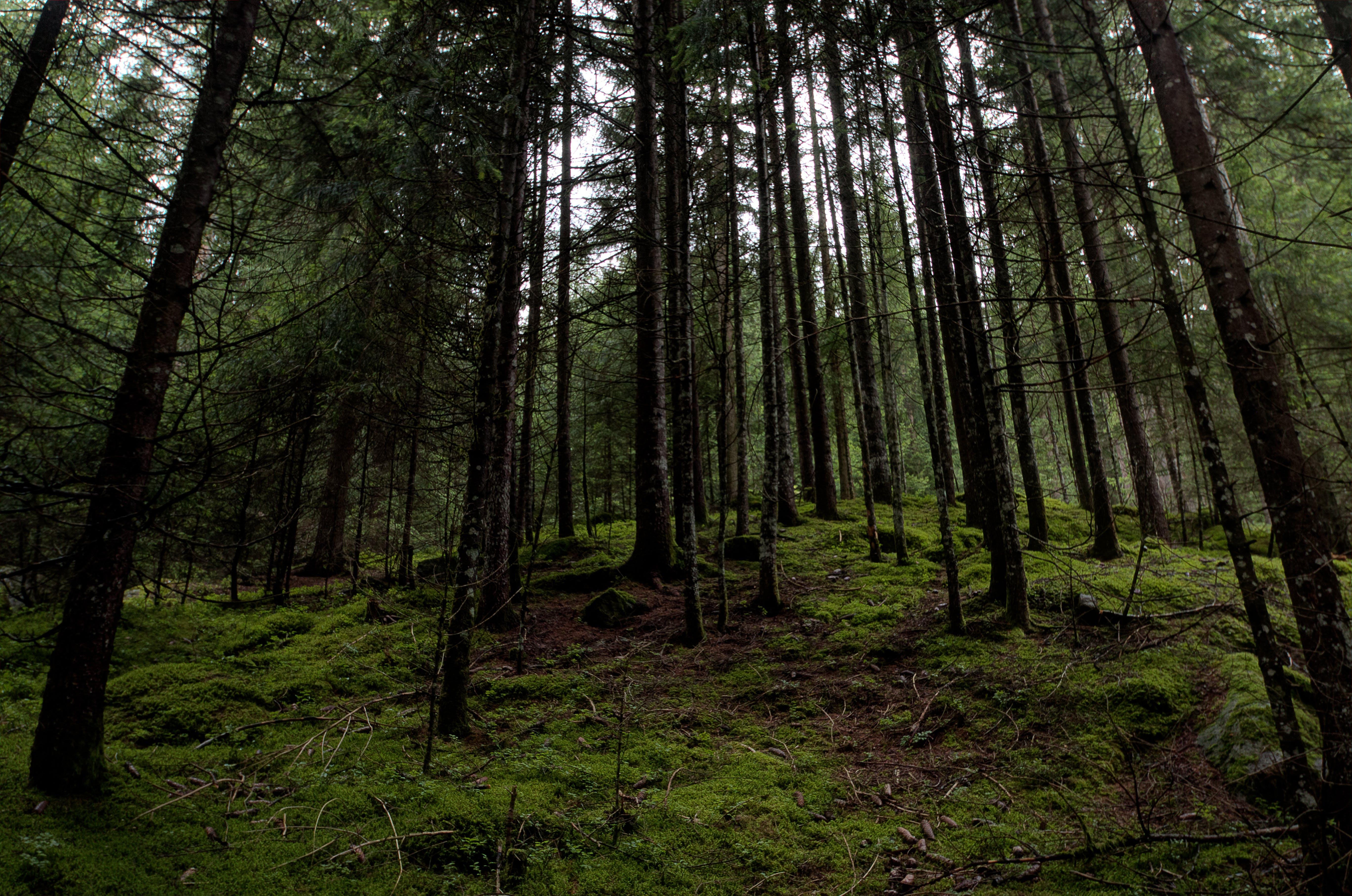 Základová fotografie zdarma na téma denní světlo, fotografie přírody, jehličnan, kmeny