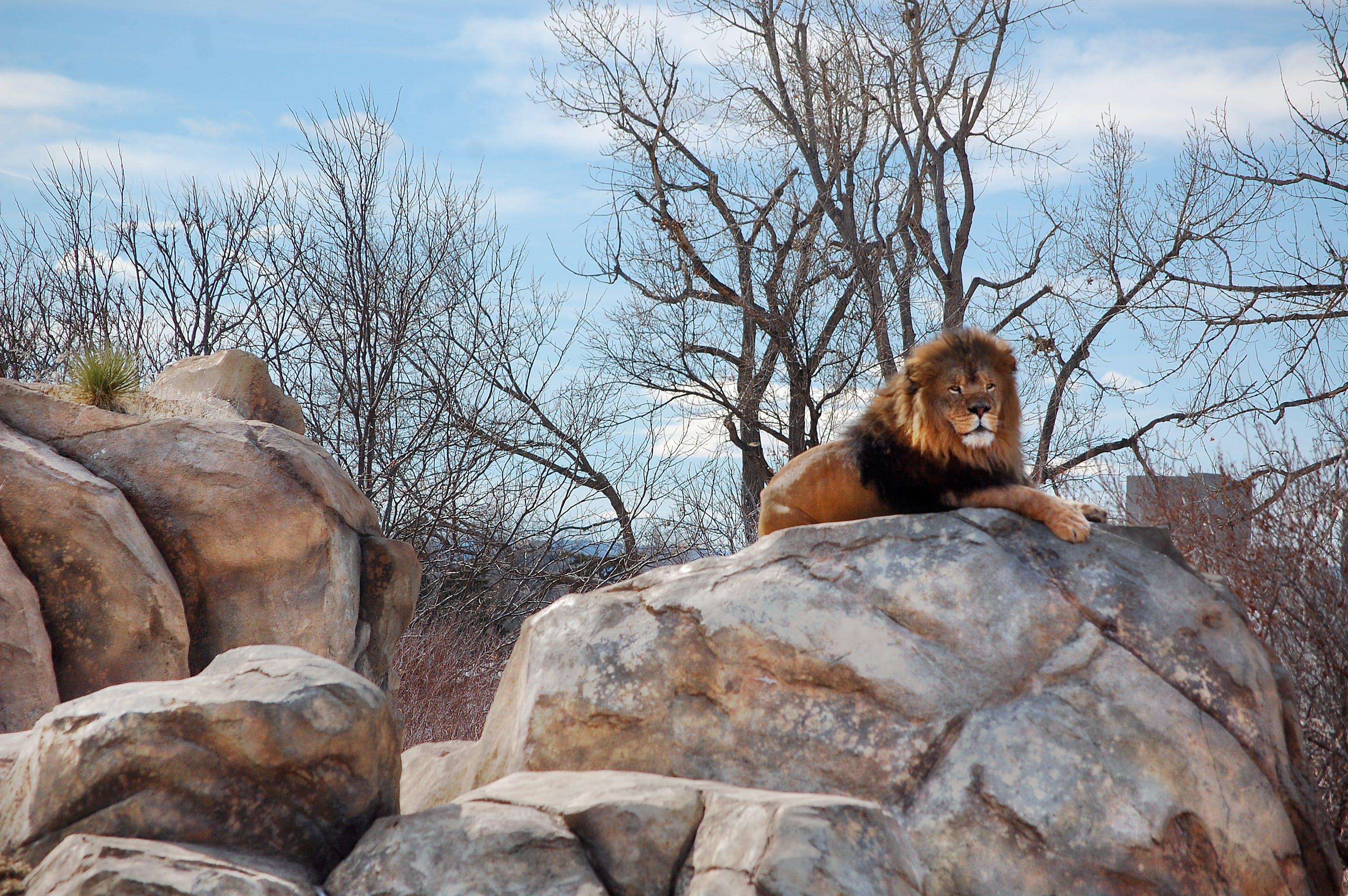 Kostenloses Stock Foto zu denver, löwe, zoo