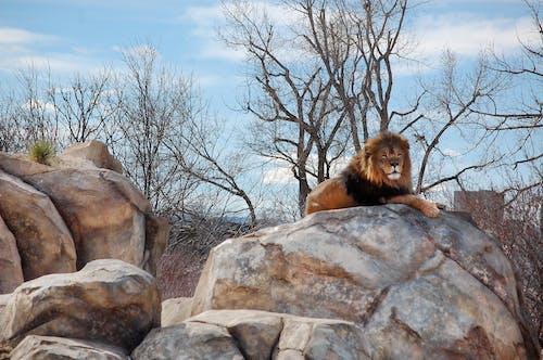 Základová fotografie zdarma na téma denver, lev, zoo