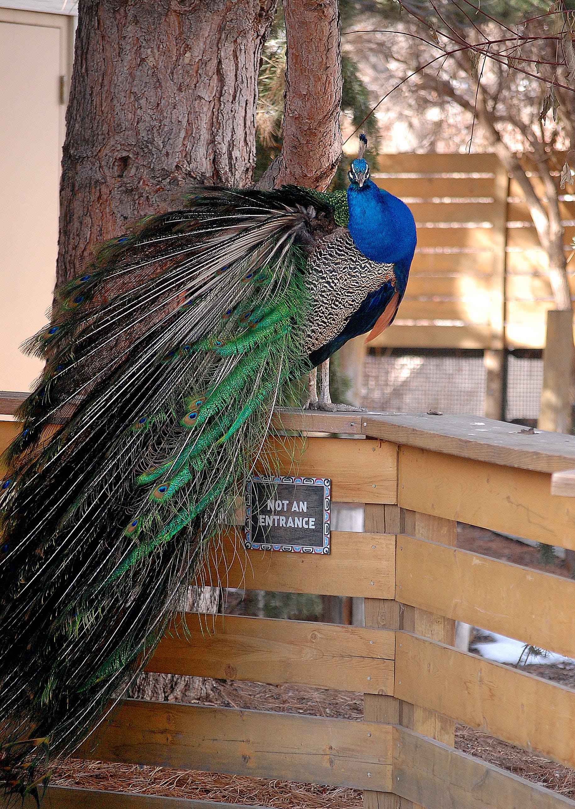 Free stock photo of Denver, peacock, zoo