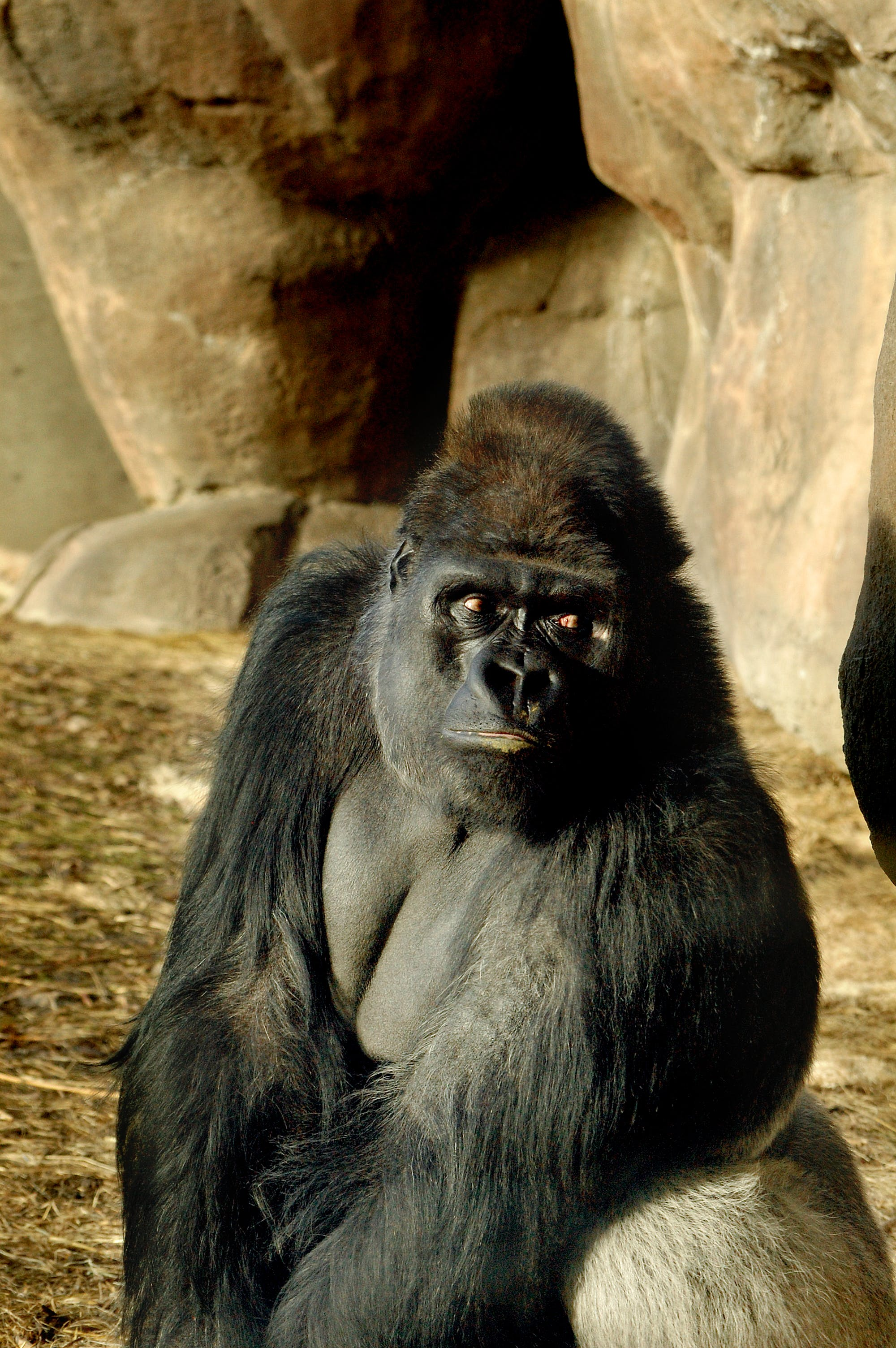 Kostenloses Stock Foto zu denver, gorilla, zoo