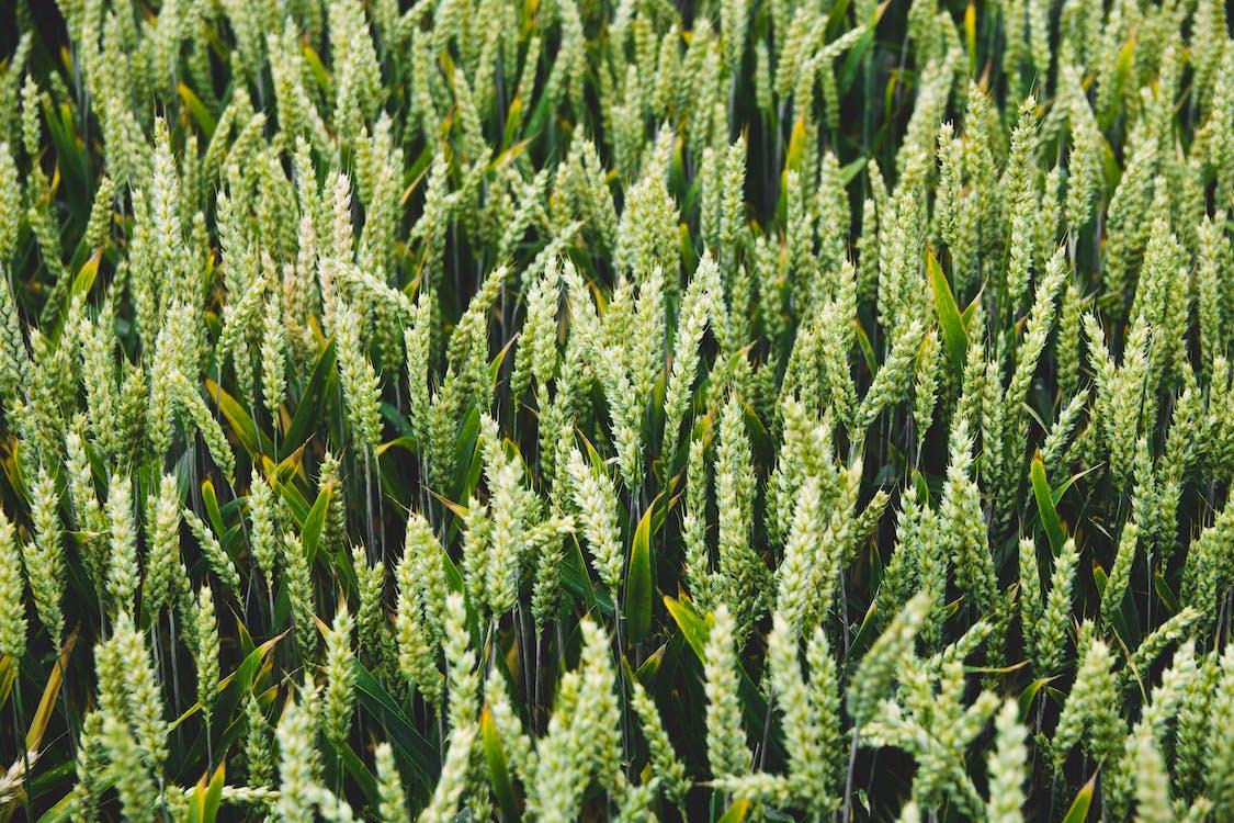 alan, bitkiler, buğday tarlası