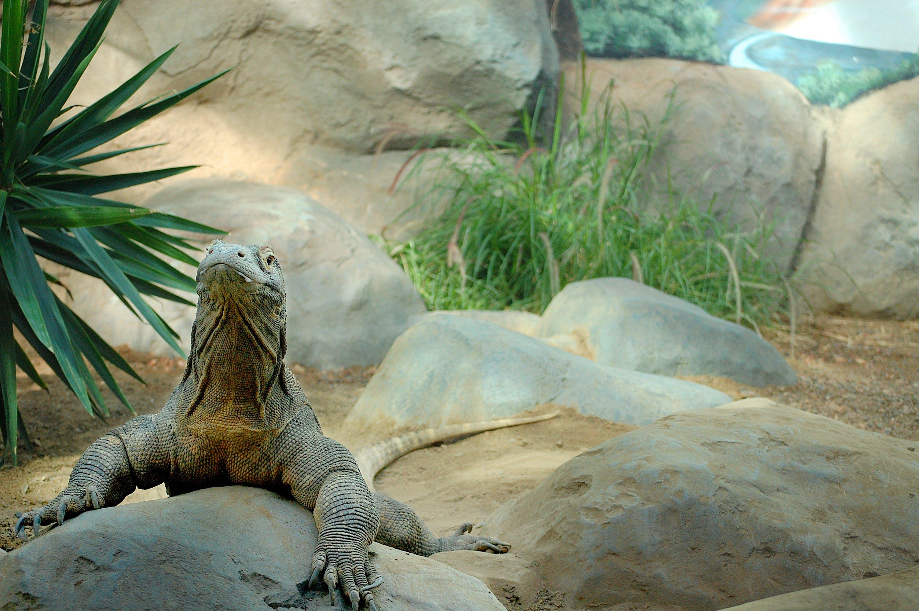 Free stock photo of Denver, Komodo Dragon, zoo