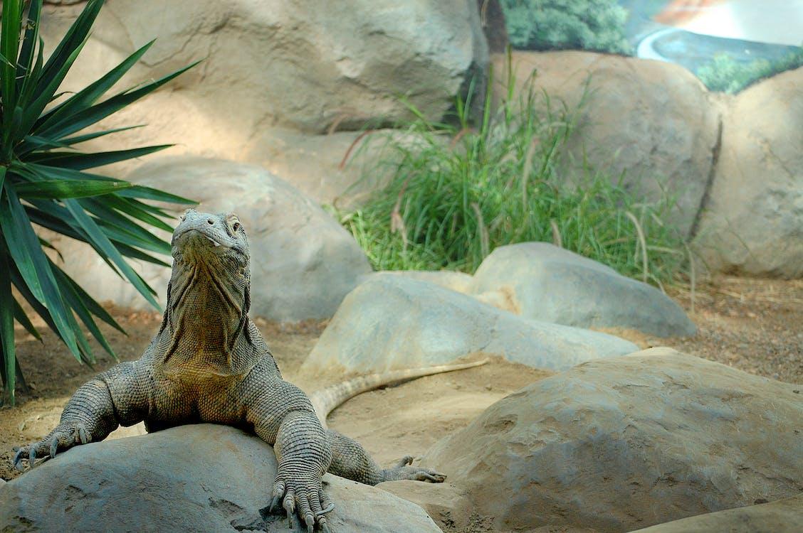 denver, ogród zoologiczny, smok komodo