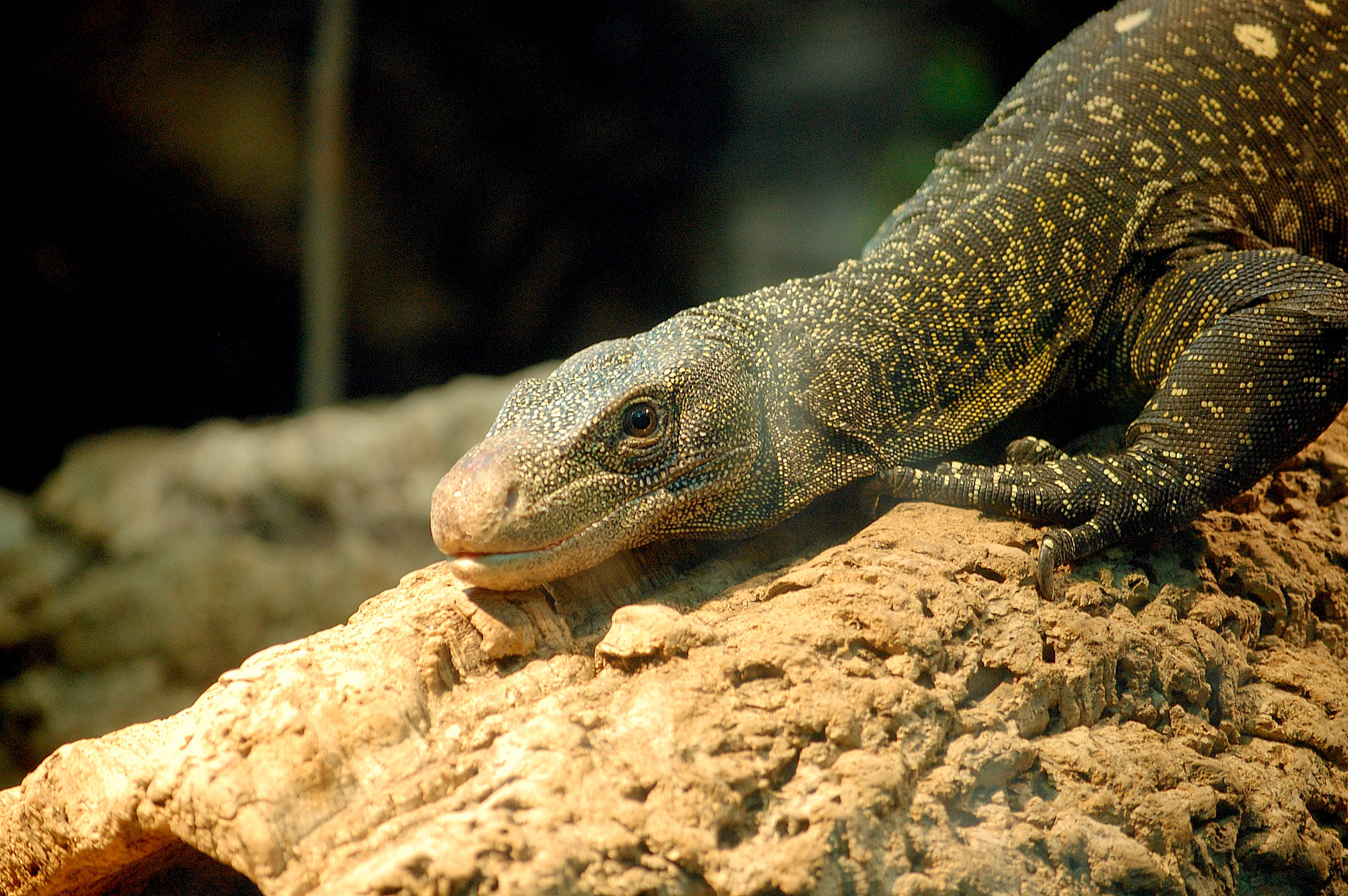 Gray Lizard on Brown Surface