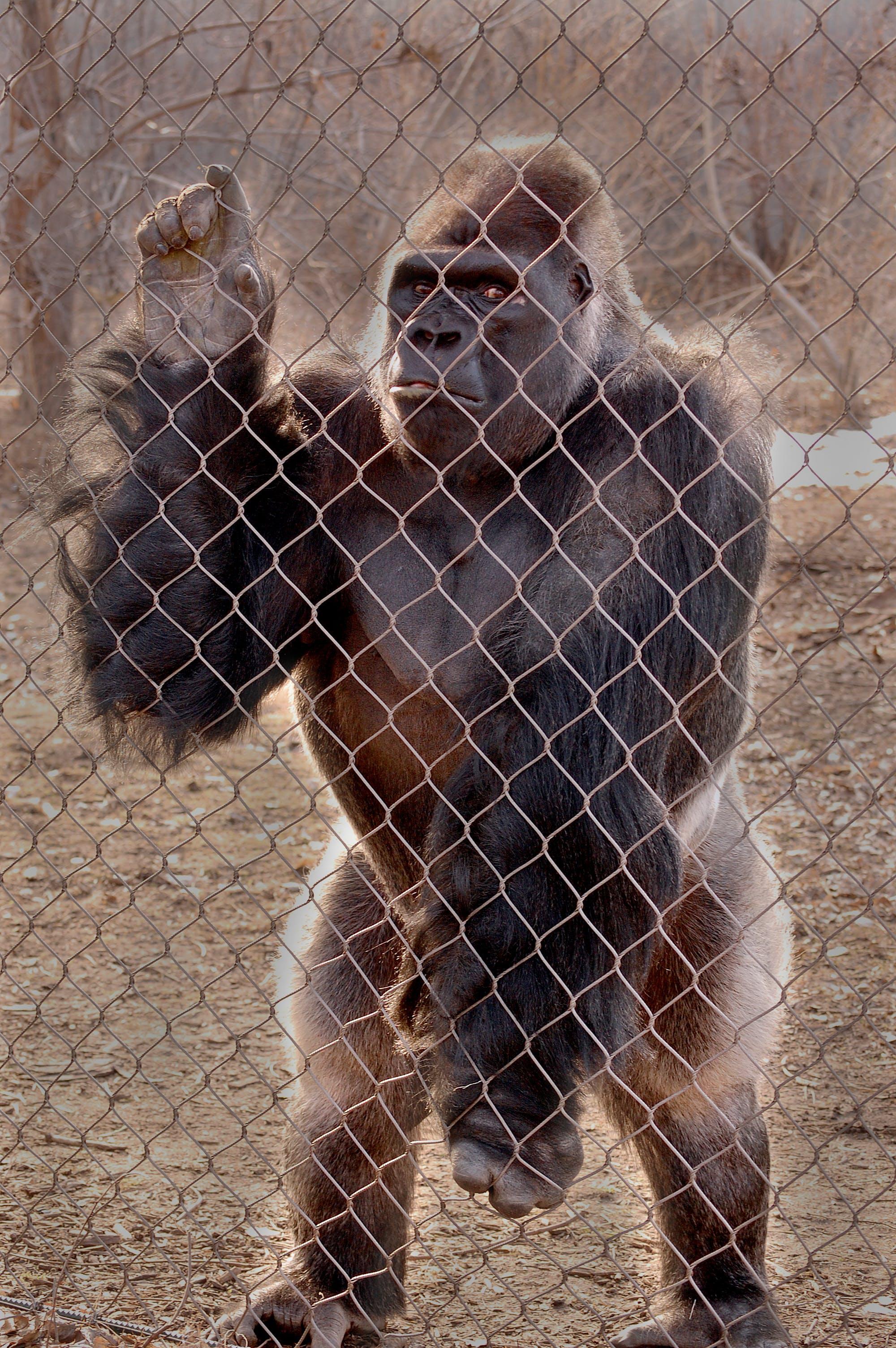 Kostenloses Stock Foto zu affe, gorilla, zoo