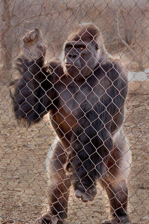 Gorilla Standing Behind Fence