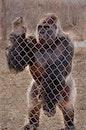 zoo, ape, monkey