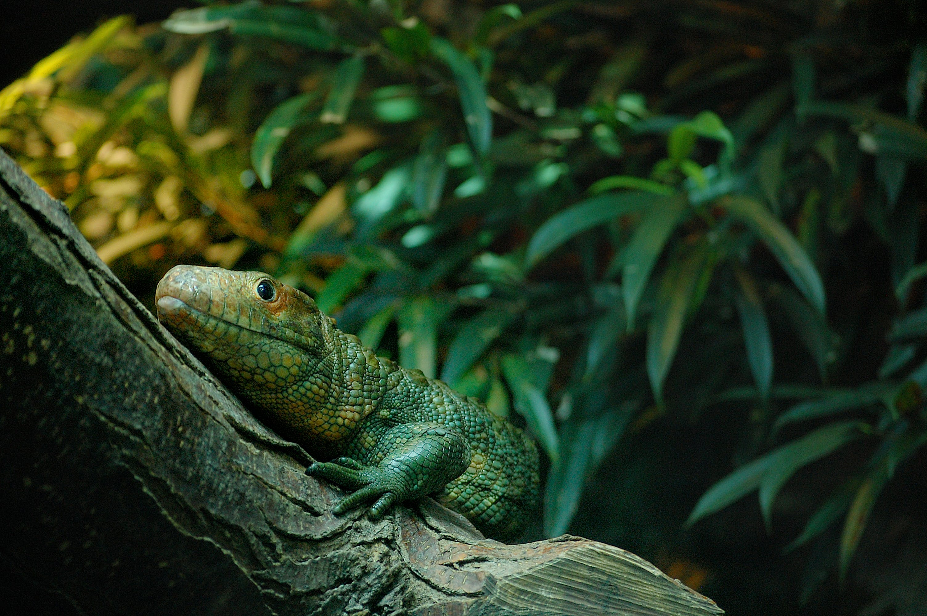 Free stock photo of animal, zoo, lizard, reptile