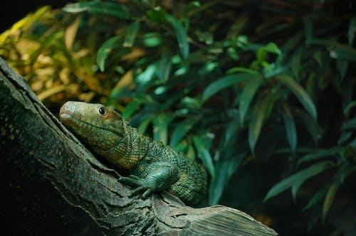 Základová fotografie zdarma na téma ještěrka, leguán, plaz, zoo
