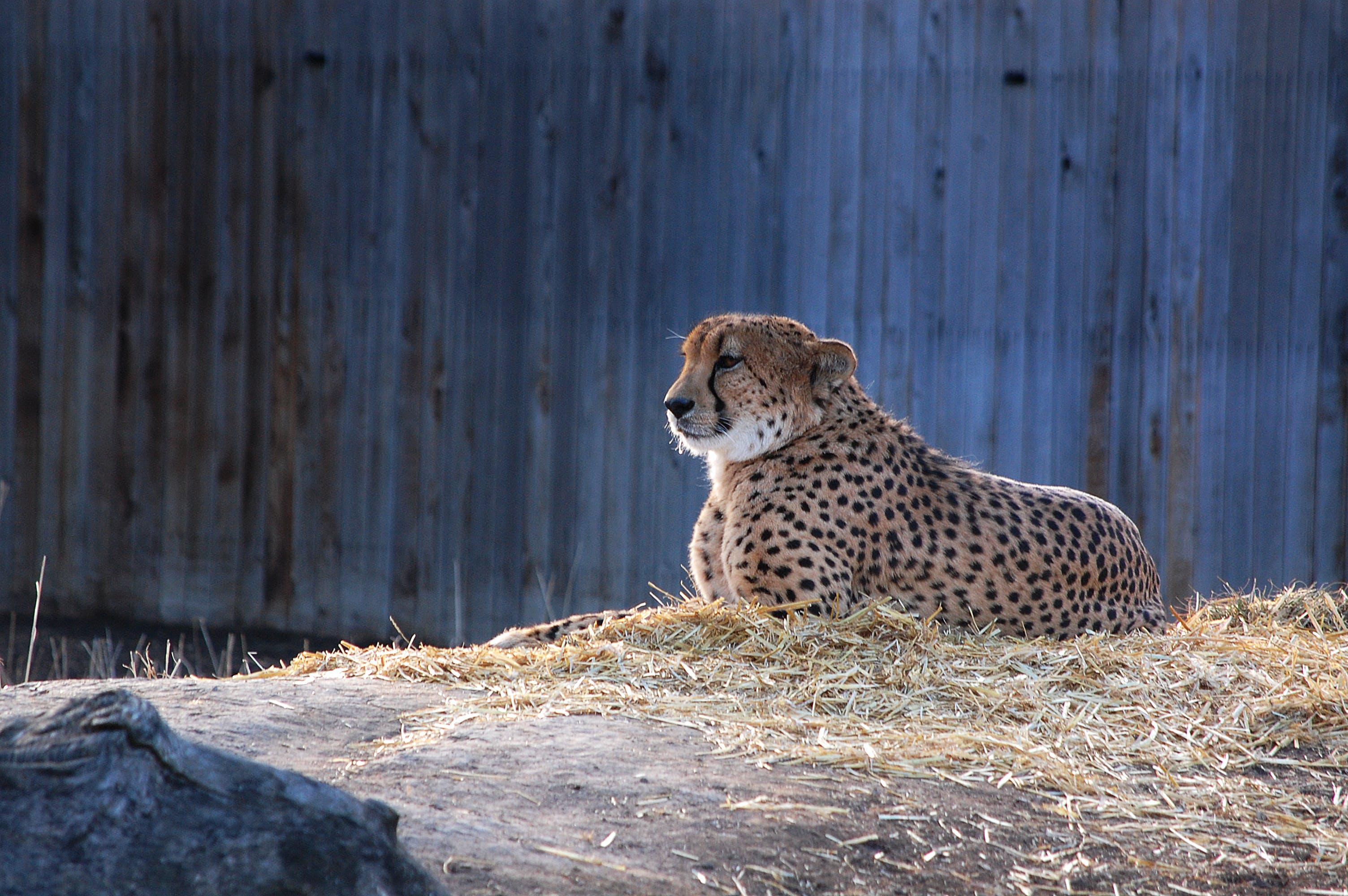 cheetah, dierentuin, grote kat