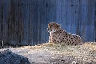 zoo, predator, leopard