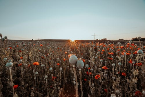 Flower Field At Sunset