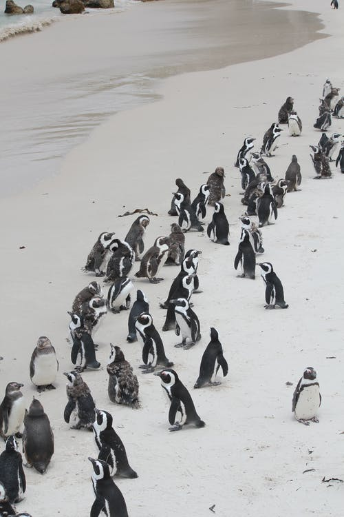 Photo Of Flock Of Penguins