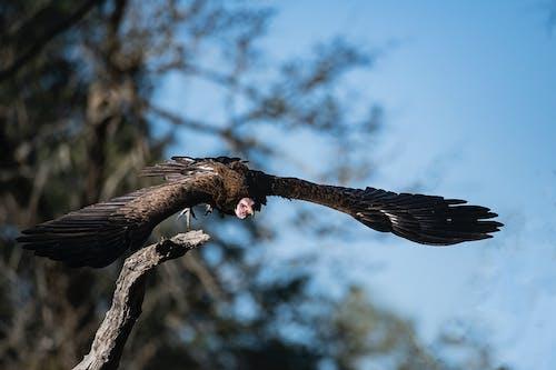 Kostnadsfri bild av fågel, gam, safari, vildfågel