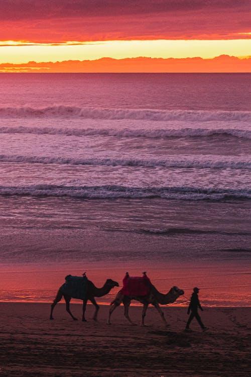 Free stock photo of alone, animal photography, arabian camel