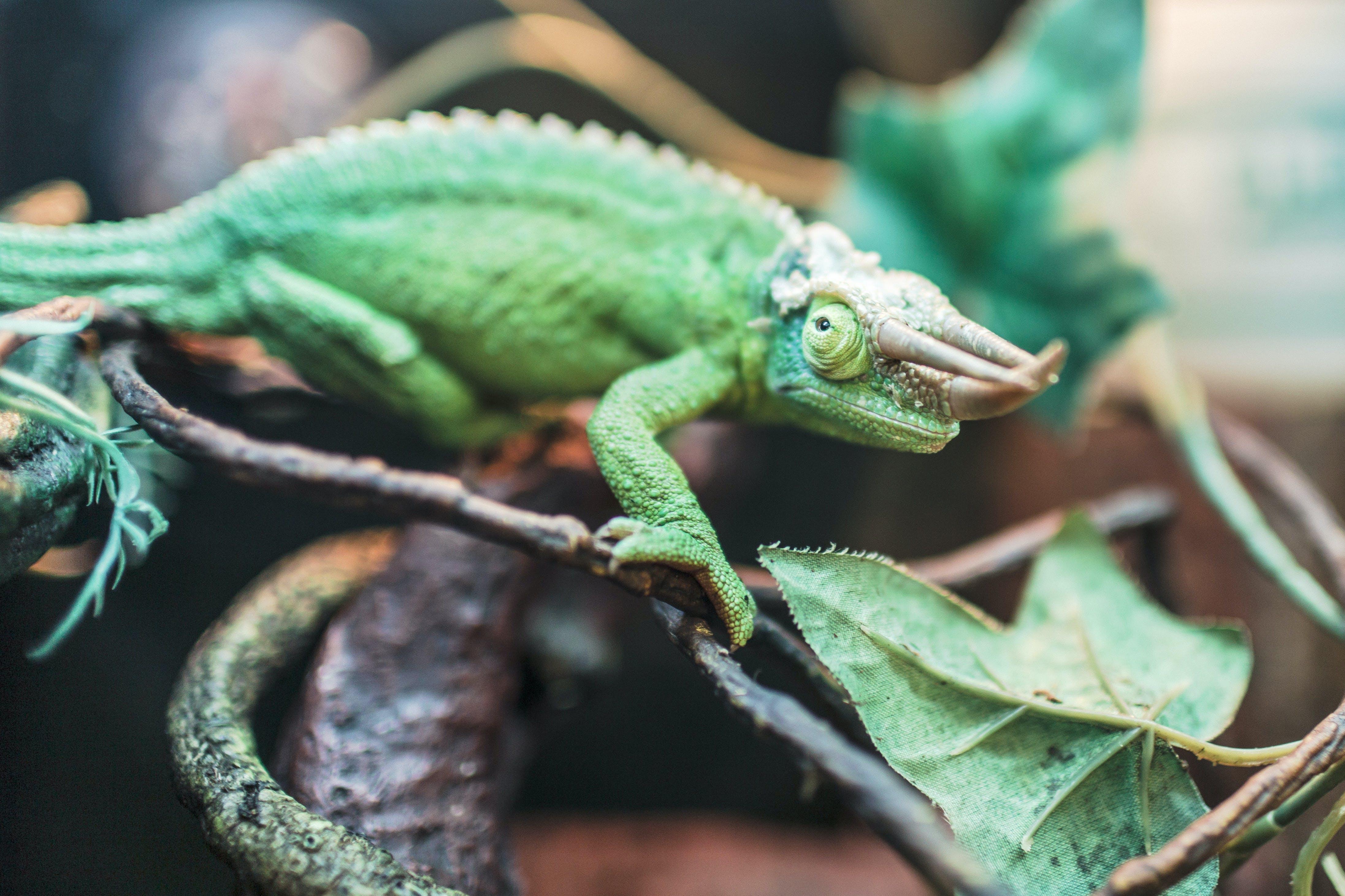 Základová fotografie zdarma na téma ještěrka, leguán, plaz, zelená
