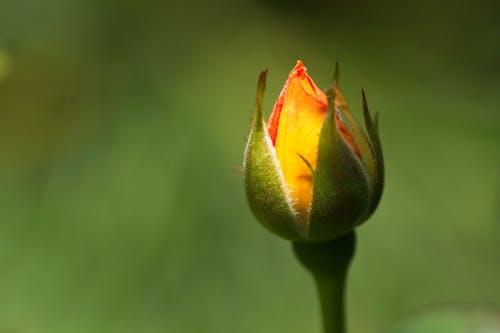 Photos gratuites de belle fleur, roses de jardin